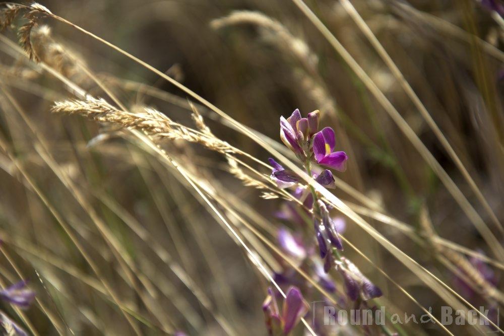 Nahaufnahme einer Blume die inmitten eines Getreidefeldes wächst