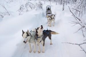 Husky-Team während einer Pause; die Hunde wollen weiter