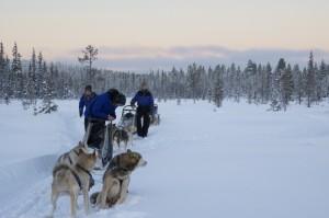 Pause auf dem Trail, die Huskys wollen weiter